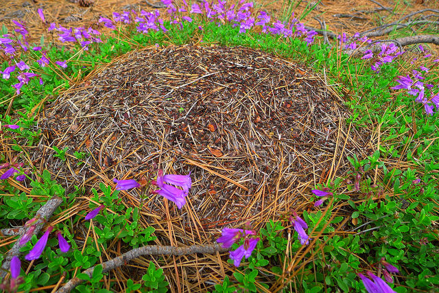 This is a magnificent red ant hill surrounded by a circle of magenta penstemon. Don't tell me ants don't have a sense of aesthetics!