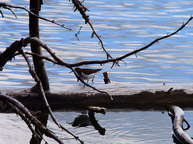 I spotted Spotted Sandpipers foraging along the lake shore debris.