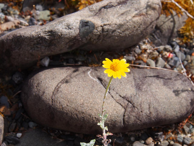 single yellow flower on Chetco stone