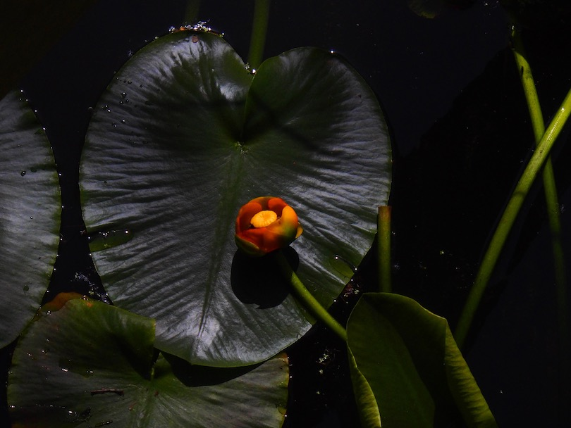 Orange lilies on maroon leaves floating over and sheltering a watery world below.