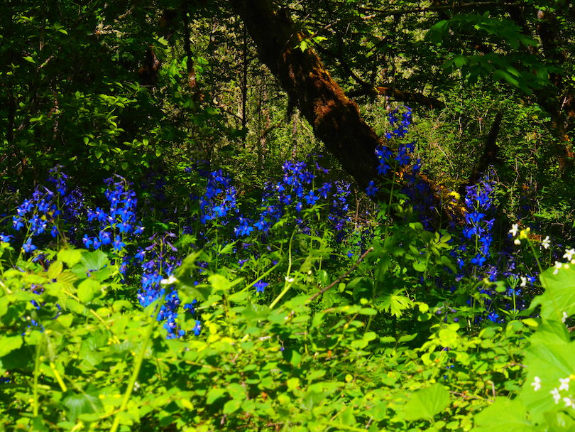 Under the riparian trees of the Mt. Pisgah Arboretum, larkspur grows as high as your waist.